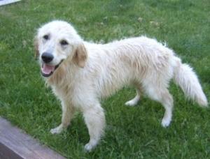 Angel the dog - Temecula dog trainer - Dog Pro