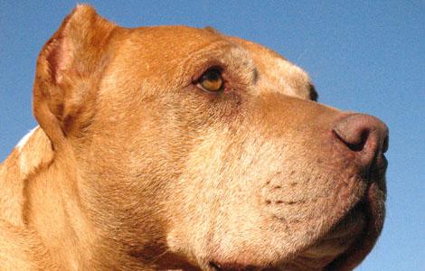 Daddy the pit bull - Cesar the Dog Whisperer