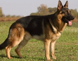 Protection Dog Training Temecula, CA - German Shepherd